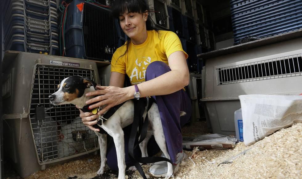 Miles De Perros Abandonados En Madrid Son Adoptados Cada Año En Otros Países Europeos Madrid El País