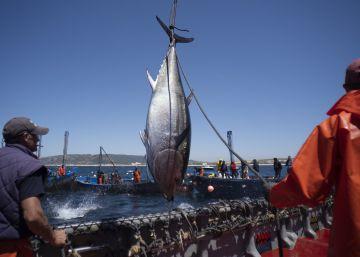 El linaje del atún rojo de almadraba