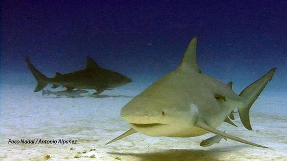 Cara a cara con el tiburón toro en Playa del Carmen | Blog
