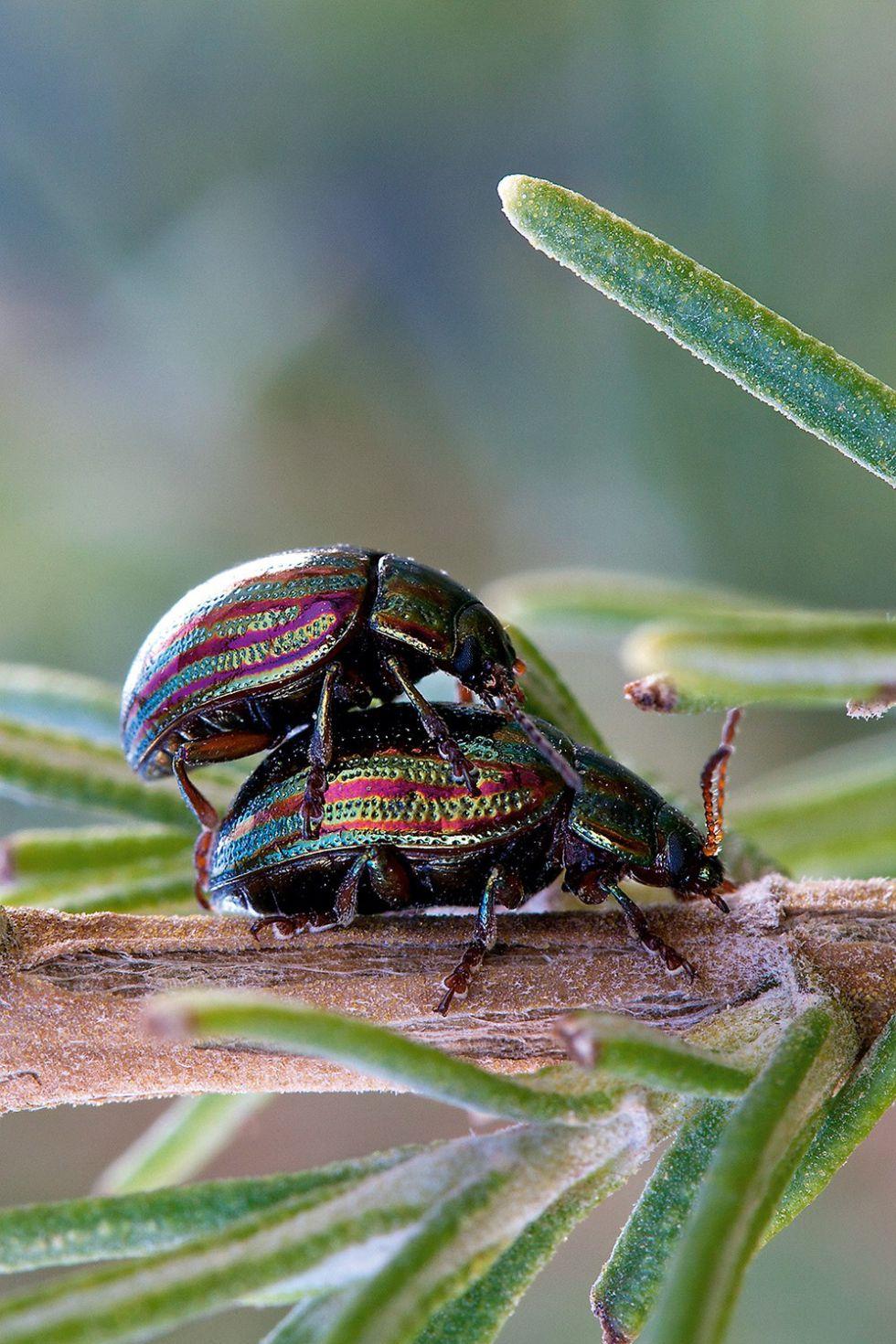 escarabajos que hacen bolas de caca