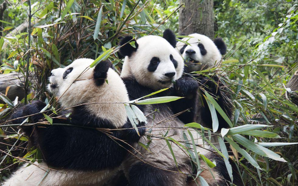 Al Oso Panda Se Le Indigesta El Bambu Ciencia El Pais