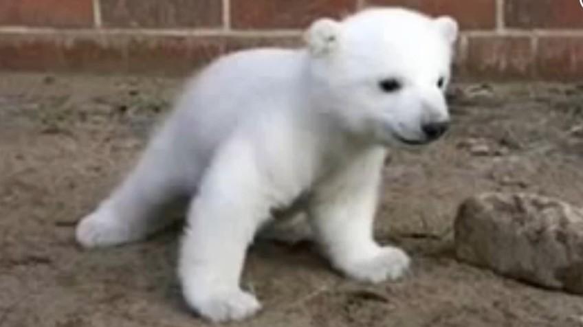 Vídeo: Resuelto el misterio de la muerte del oso \'Knut\' | Vídeos ...