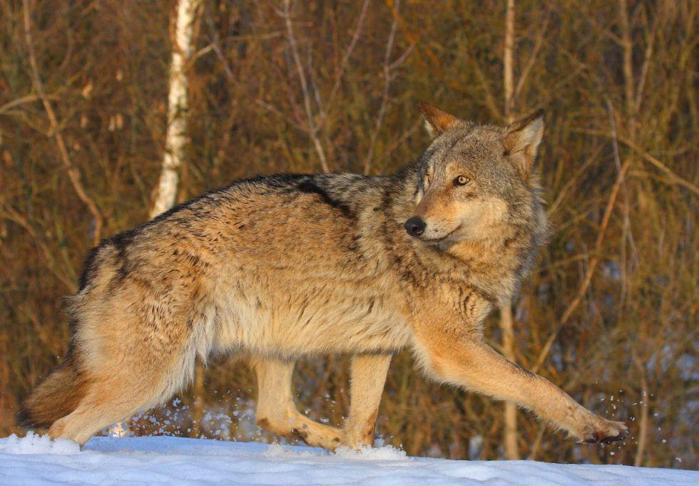 lobos-chernobil