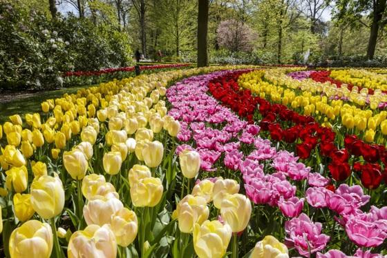 Tulipanes Holandeses