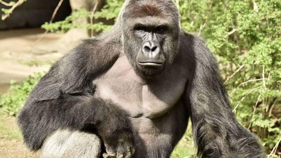9ef5200a13f7 Gorila Harambe  El bebé de King Kong