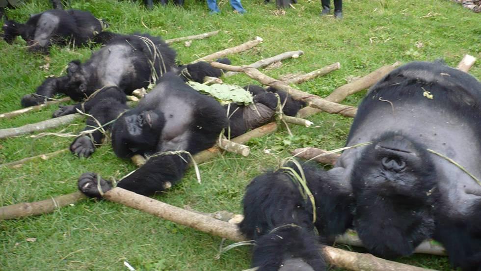 89695da99c0c Cuatro de las seis especies de grandes simios ya están al borde de la  extinción
