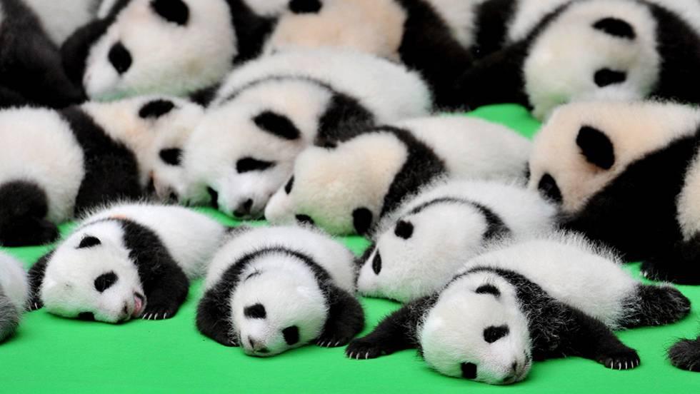 Amado Vídeo: China presenta a 23 cachorros de panda juntos | Actualidad  LY61