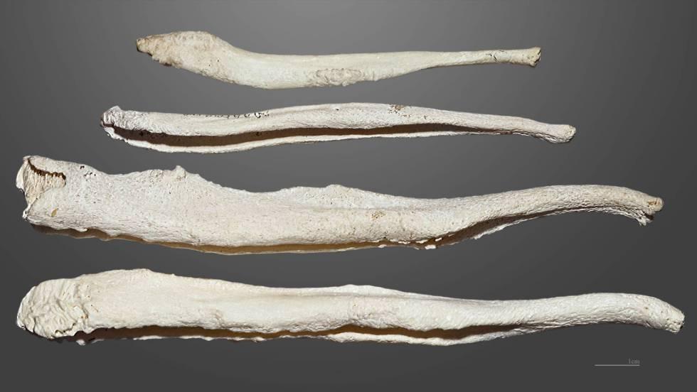 Por qué los humanos perdieron el hueso del pene | Ciencia | EL PAÍS