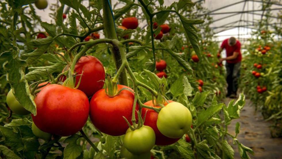 Resultado de imagen para imagenes tomates