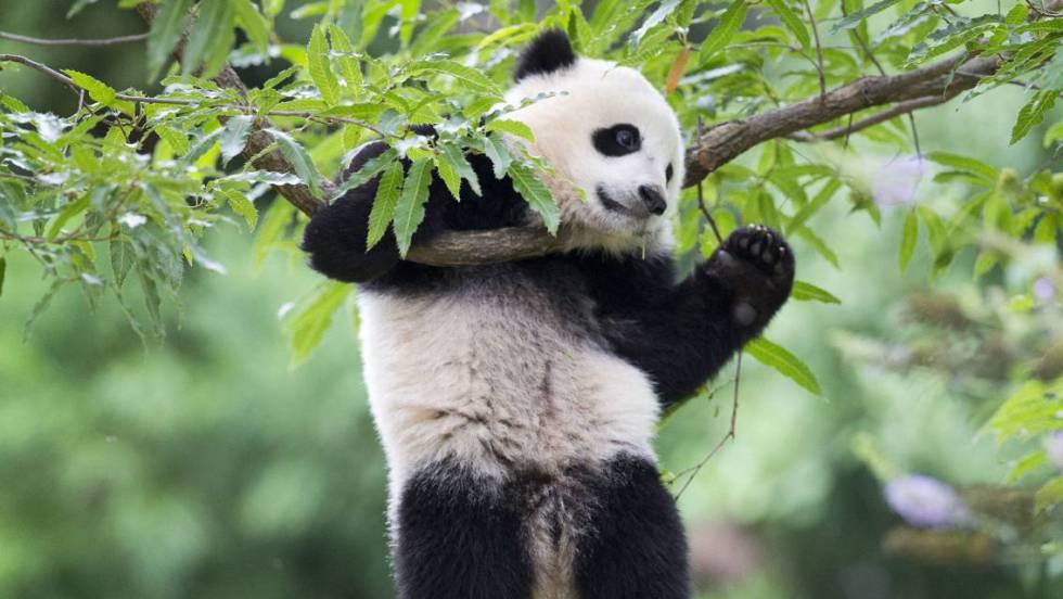 Conhecido Por qué los osos panda son blancos y negros? | Ciencia | EL PAÍS FW44
