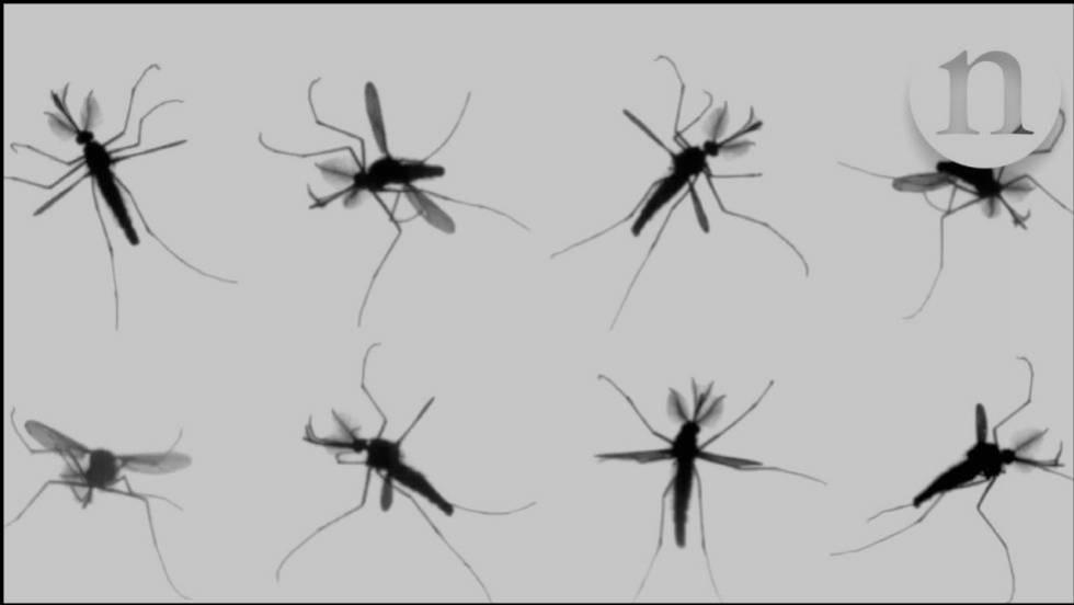 Solucionado el misterio del vuelo de los mosquitos | Ciencia | EL PAÍS