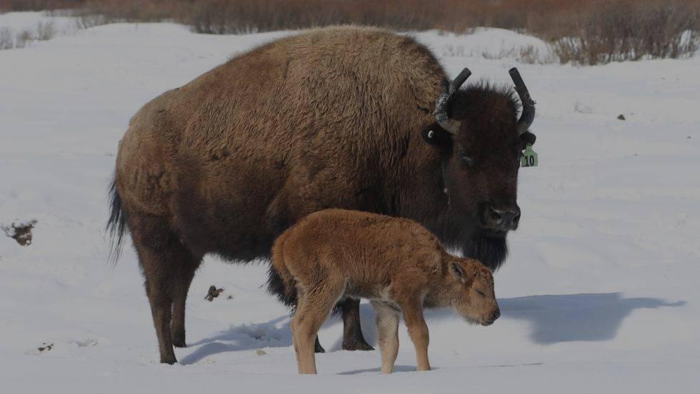 Image result for Nace la primera cría de bisonte en República Dominicana