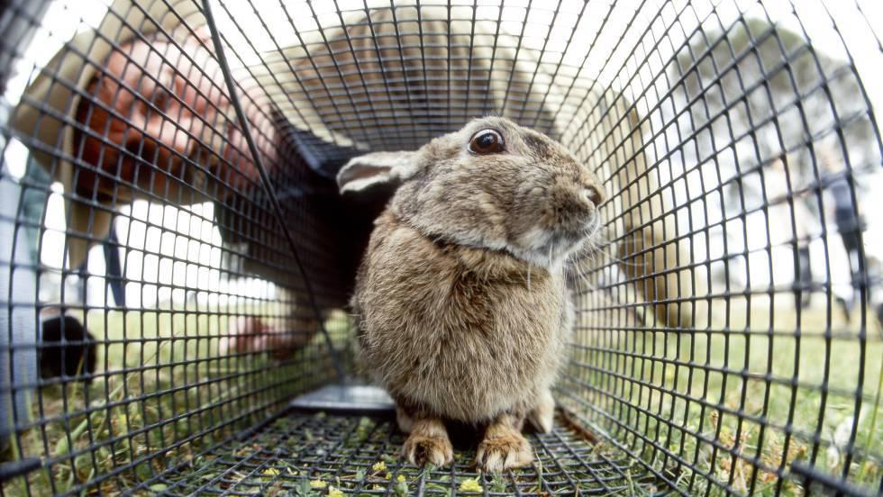 Australia Libera Un Virus Letal Para Arrasar Sus Poblaciones De Conejos Ciencia El País