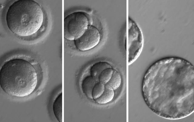 Curando embriones
