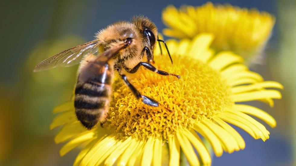 Resultat d'imatges de abejas
