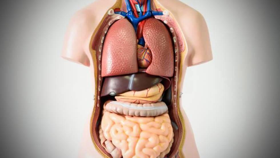 Siete órganos sin los que puedes vivir | Ciencia | EL PAÍS