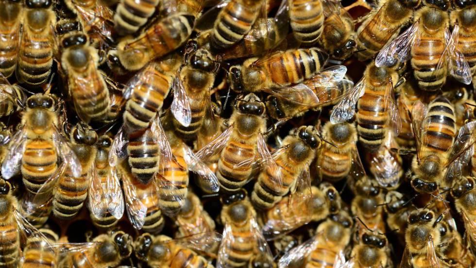 La guerra civil de las abejas   Ciencia   EL PAÍS