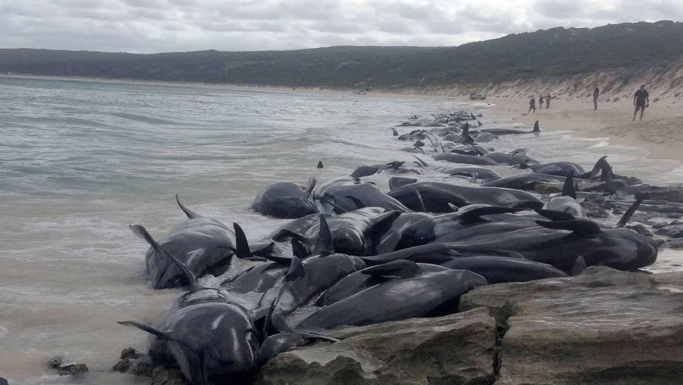 Mueren 150 ballenas piloto en otro 'suicidio' masivo en Australia | Blog  Mundo animal | EL PAÍS