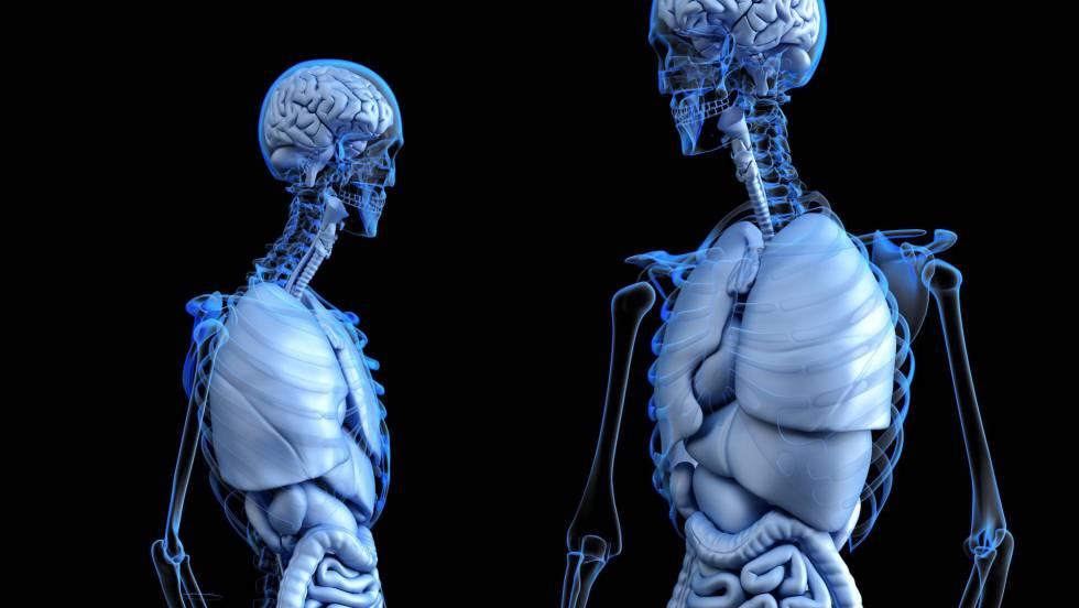 Intersticio: Descubierto un nuevo órgano gigante que no se ve bajo ...