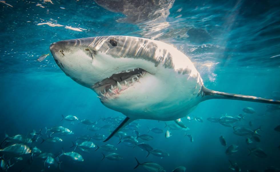 Resultado de imagen para tiburones