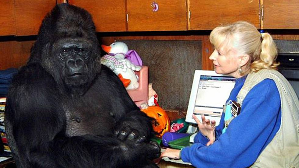 Muere Koko, la gorila que dominaba el lenguaje de signos | Blog ...