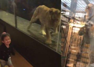Cerrado el café que exhibía a una leona en Turquía en un jaula de cristal