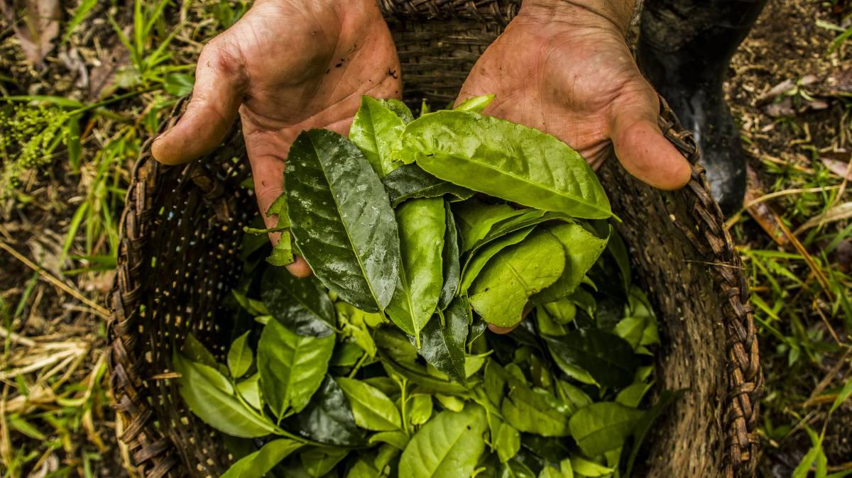 La planta amazónica con más antioxidantes que el té