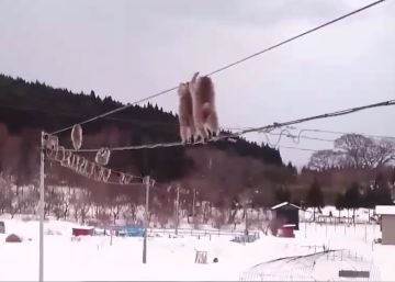 El sorprendente desfile de unos monos por un tendido eléctrico