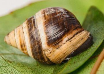 Muere el caracol más solitario del mundo (y desaparece toda su especie)