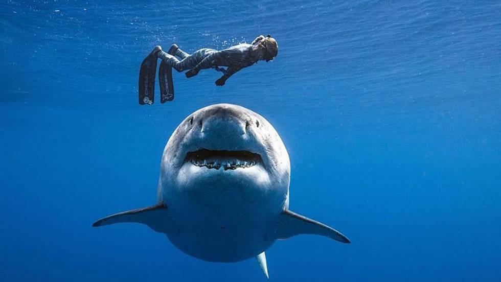 Vídeo: Un buzo nada junto a 'Deep Blue', el tiburón blanco más ...