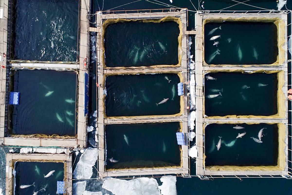 La 'cárcel' de ballenas del lejano Oriente ruso 1552324416_462403_1552374172_sumario_grande