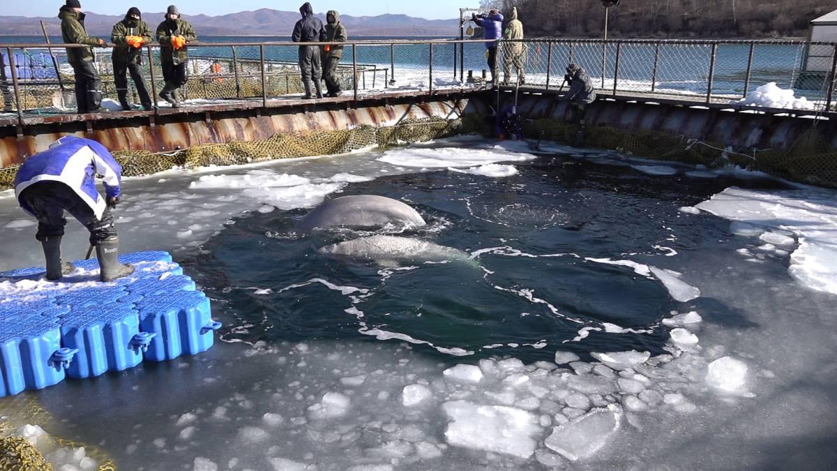 La 'cárcel' de ballenas del lejano Oriente ruso 1552324416_462403_1552375275_sumario_grande