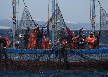 El arte milenario de la pesca del atún se repite en Cádiz