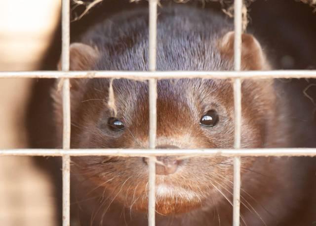 Científicos holandeses alertan del posible primer salto conocido del coronavirus de animales a humanos en una granja de visones