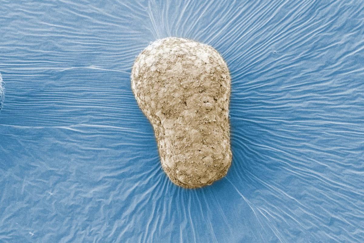 Un modelo de embrión humano muestra una fase nunca observada de la vida