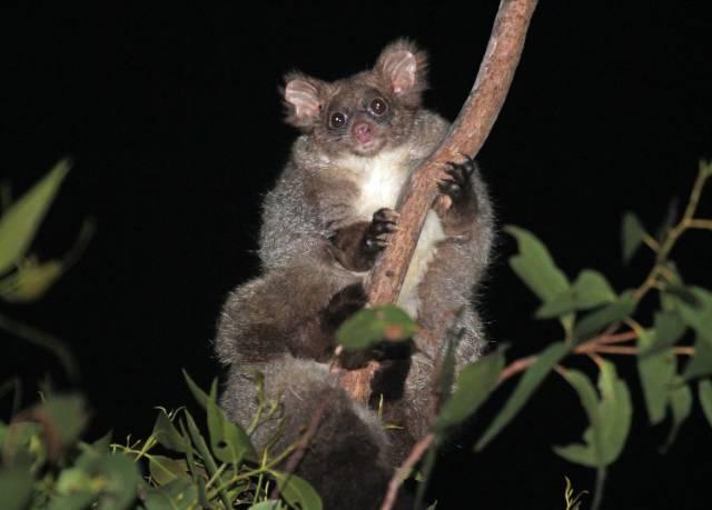 Así son los 'nuevos' marsupiales australianos