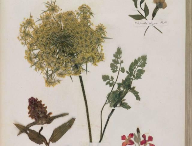 El herbario de Emily Dickinson, entre la ciencia y la poesía