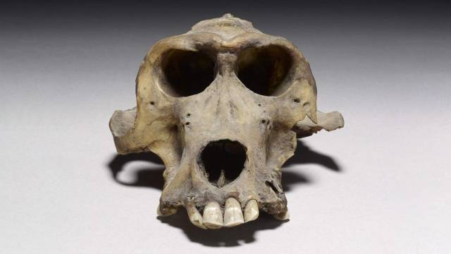 Dos cráneos de babuinos de hace 3.300 años revelan el lugar de origen de una misteriosa civilización