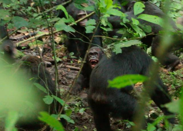 Los tres asesinatos que desataron la segunda 'guerra civil' entre chimpancés