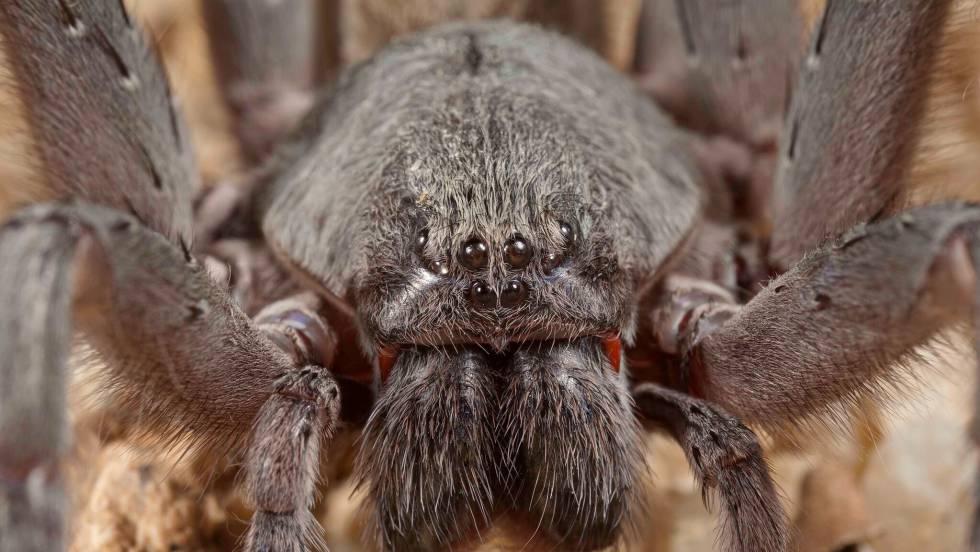 Descubierta en Baja California una especie de araña gigante nunca ...