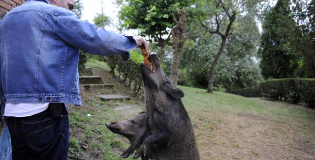 Why an army of wild boars is closing in on the Spanish city of Oviedo